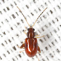 Flea Beetle - Longitarsus varicornis