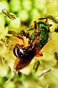 Agapestomen   - Agapostemon virescens