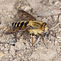 Stiletto Fly Ovipositing - Thereva hirticeps - female