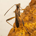Acanthocephala - Alydus pilosulus