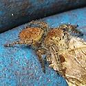 Orange jumping spider - Phidippus princeps