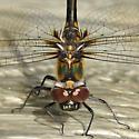 Dragonfly - Somatochlora franklini