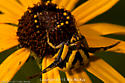Yellow spider on Flower_MacStLo - Misumenoides formosipes