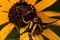 Yellow spider on Flower_MacStLo - Misumenoides formosipes