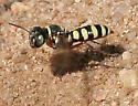 Wasp - Clypeadon