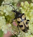 Black and Tan Beetle  - Judolia instabilis