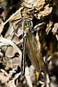 American Emerald female? - Cordulia shurtleffii - female