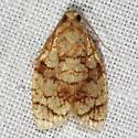 Shimmering Adoxophyes Moth - Adoxophyes furcatana