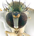 Dolichopodidae, face - Dolichopus - female