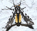 checkered moth - Arachnis zuni - male