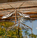 Giant Eastern Crane Fly - mating pair - Pedicia - male - female