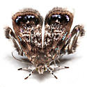 Brenthia pavonacella