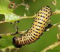 beetle larvae - Pyrrhalta viburni