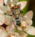 Tachinid on milkweed - Chetogena