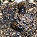 Aphodius distinctus, I think - Aphodius distinctus