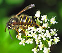 Wasp at Rainier - Dolichovespula norvegicoides - female