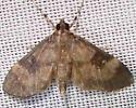 Moth - Lygropia fusalis
