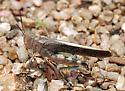 Speckle-winged Rangeland Grasshopper - Arphia conspersa - male