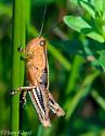 Differential Grasshopper-Mature - Melanoplus differentialis
