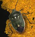 S.Bug - Chlorochroa sayi