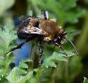 Habropoda tristissima - male