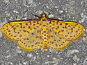 5230 – Red-spotted Sweetpotato Moth - Polygrammodes eleuata