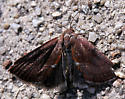 Small brownish red moth with dark gray underwings - Galgula partita