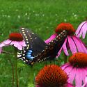 Papilio polyxenes  - Papilio polyxenes