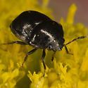 Thyreocoridae ZH3Z2868 - Corimelaena pulicaria