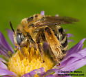 Bee - Svastra - female