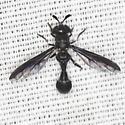 Syrphid Fly - Rhopalosyrphus ramulorum - male