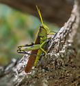 Locust of some type - Schistocerca - male