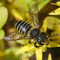 sweat bee - Megachile