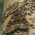 Brown moth - Catocala