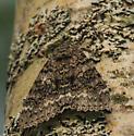 Brown moth - Catocala