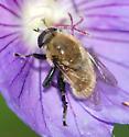 Narcissus bulb fly - Merodon equestris - female