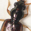 Ground beetle (2) 10.04.30 - Bembidion affine