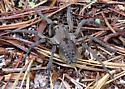 wolf spider - Hogna carolinensis