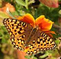 Fritillary - Speyeria callippe - female