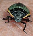Insect on hydrangea - Chlorochroa