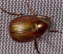 Brown Beetle - Callistethus marginatus