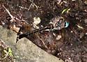 Dragonfly Ovipositing - Somatochlora williamsoni - female