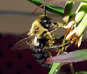 Common Eastern Bumble Bee - Bombus impatiens - male