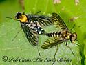 3013367 Rhag - Chrysopilus thoracicus - male - female
