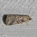 White-lined Graylet Moth - Hodges#9038 - Hyperstrotia nana