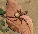 Brown Widow? - Latrodectus geometricus