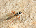 small wasp - Cinetus - female