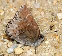 Hoary Elfin - Callophrys polios