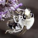 Eucera (Synhalonia) sp. - Eucera - male