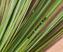 Aphid eggs on white pine needles - Cinara strobi